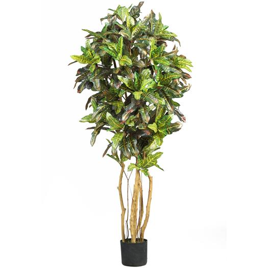 5 foot Croton Silk Tree