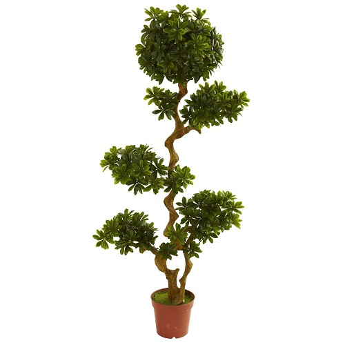 5' Pittosporum UV Resistant (Indoor/Outdoor)