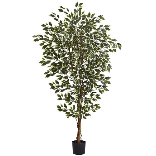 6' Hawaiian Ficus Tree